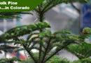 Norfolk Pine Colorado