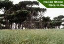 Italian Stone Pine Tree Care